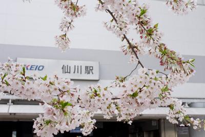 仙川駅前の桜